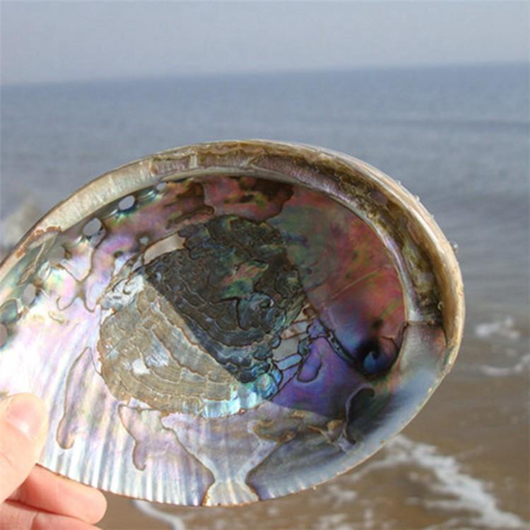 1PCS 12-14cm Haliotis Roei Haliotis Ovina Ass\'s Ear Abalone Super Natural Conch Sea Shell Home Wedding Decoration Natural Crafts1