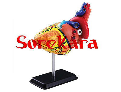 31 Parts Human Anatomical Heart Anatomy Viscera Medical Teaching Organ Model School Hospital 1 1 human anatomical respiratory system heart lung organ medical teach model school hospital
