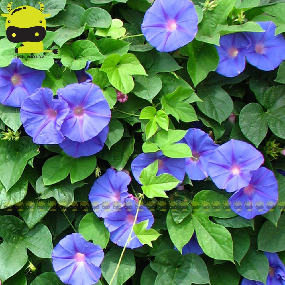 100 Real Heavenly Blue Morning Glory Seeds 50 Seedspack Ipomoea