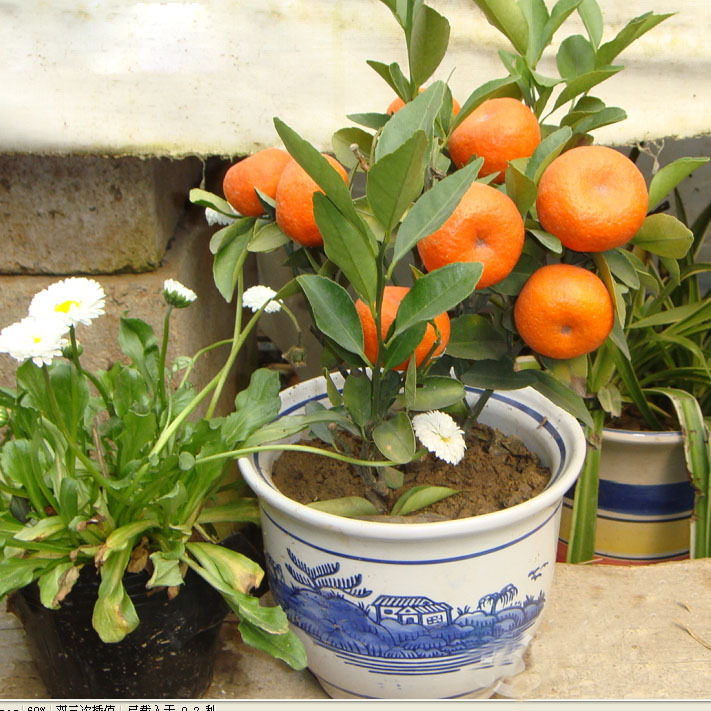 Balcony Patio Potted Fruit Trees Planted Seeds Kumquat Seeds Orange Seeds Tangerine Citrus Seeds 60 PCS
