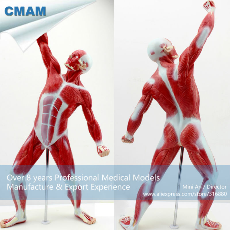CMAM-MUSCLE05 Mini Size Male Muscles and Skleton Anatomy Model