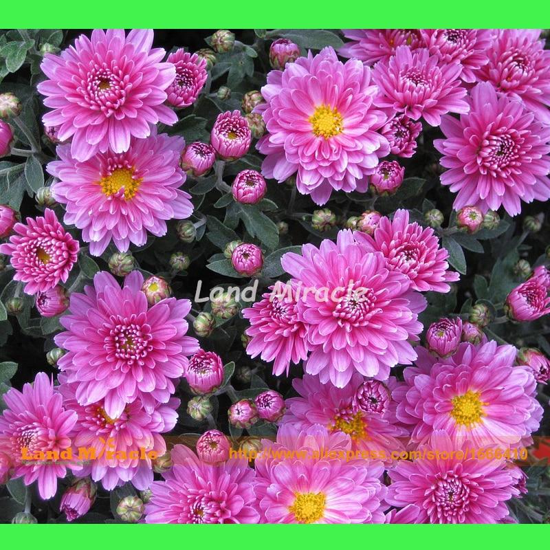Маргарита цветок