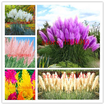 1000 pampas seeds New Rare Purple Pampas Grass Seeds Ornamental  Cortaderia Selloana Grass flower seeds for home garden