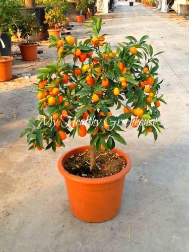 online shop fruit seeds beautiful miniature kumquat fruit bonsai, Beautiful flower