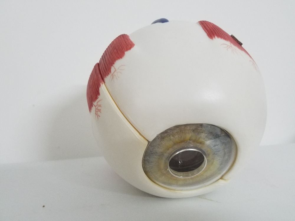 Teaching supplies Eyeball Model 6X Anatomical Model Organ Anatomy Human Specimens Model Medical Science Teaching Resources human anatomical male genital urinary pelvic system dissect medical organ model school hospital