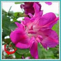 1 Lot 10 Morning glory Flower Seeds Decorative balcony Earth showing a beautiful spring A146
