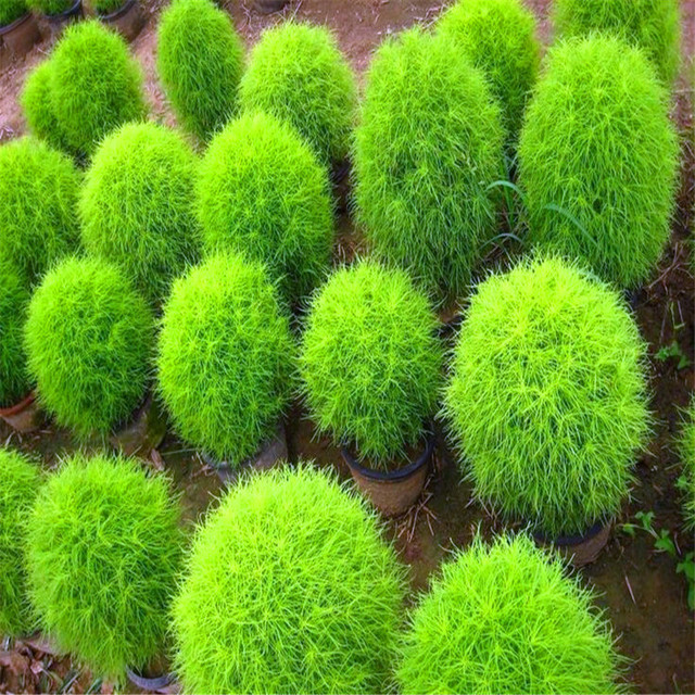 100 Summer Kochia Cypress Grass Seeds Of Perennial Flower Garden Ground  Covers Rapid Grow Burning Bush