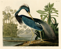 animal canvas print birds world giant poster canvas painting home decorative art pastoral picture Louisiana Heron by Audubon