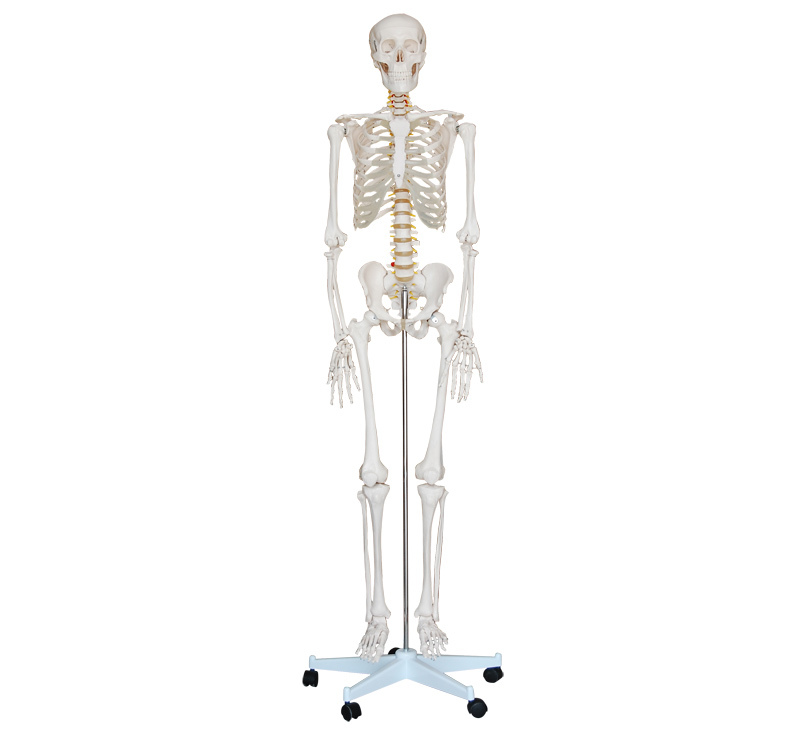 Life Size Skeleton 180cm Tall.Human Skeleton Model, Whole Body ...