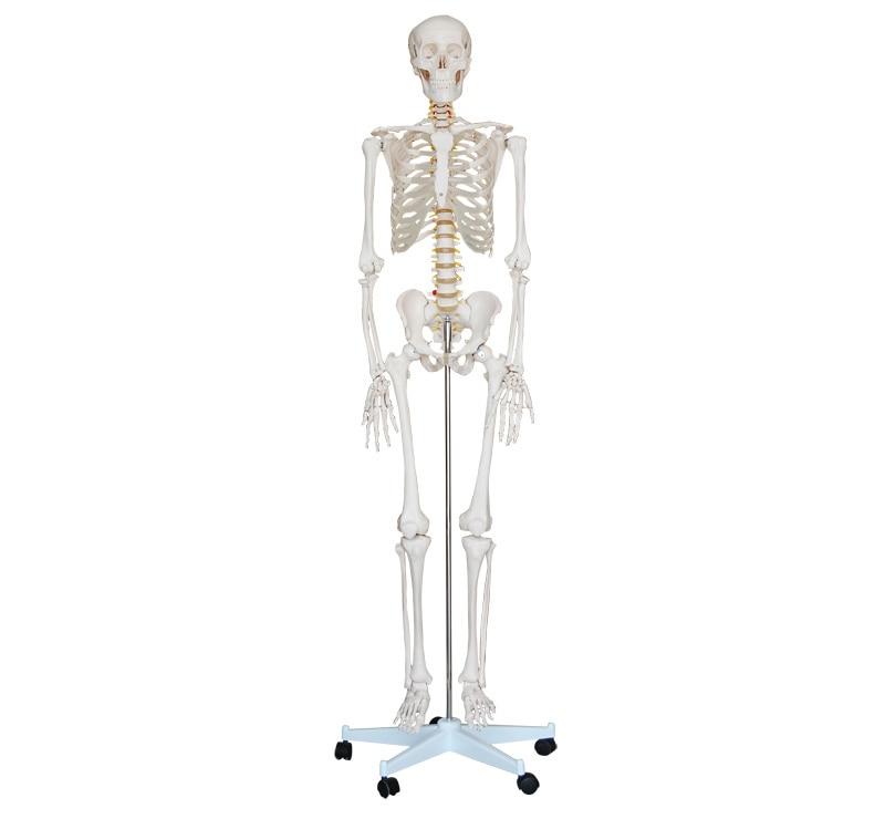 model model human skeletons 05