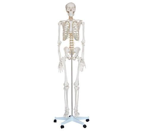 model model human skeletons