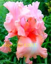 50pcs/bag pink iris seeds,bearded iris seeds,rare bonsai iris Phalaenopsis Orchid flower seeds,Nature plants for home garden