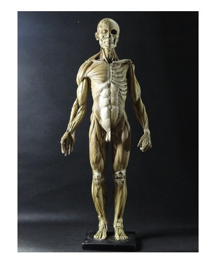 45CM model emulation Resin muscular human anatomy model for Art and ...