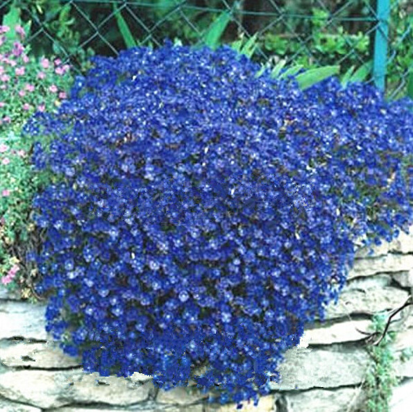 Big promotion 200 perennial flowering groundcover plants rock 200 perennial flowering groundcover plants rock cress bright blue free shipping in bonsai from home garden on aliexpress alibaba group mightylinksfo