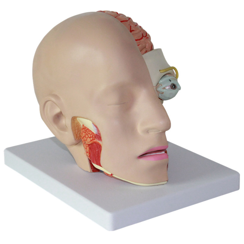 11 Size Of Humans Skull 4 Parts Removable Head Cerebral Artery