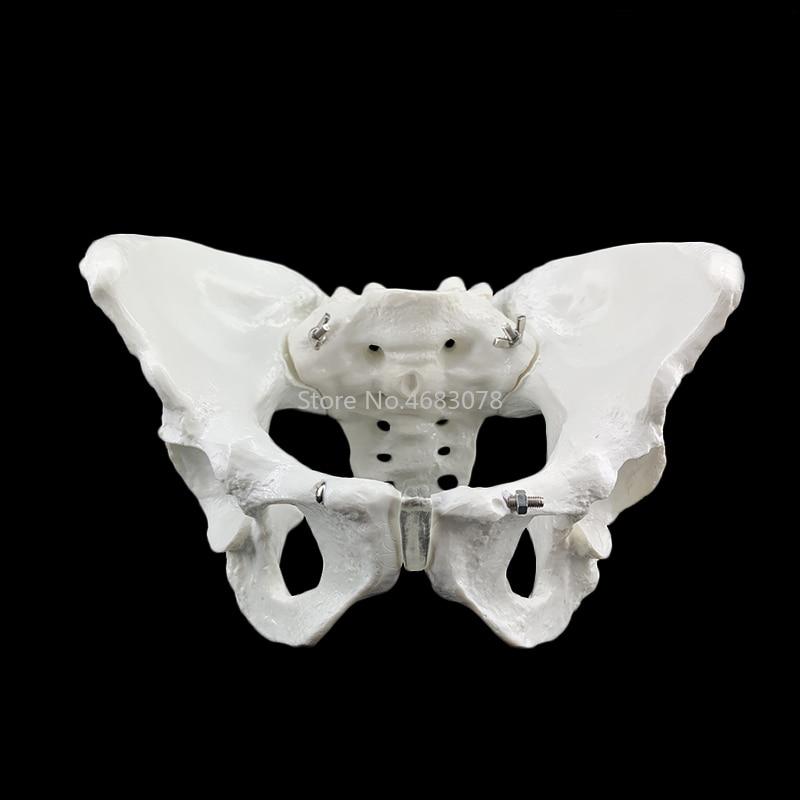 24.5x16x13cm Female Anatomy Pelvis Pelvic Skeleton Throat Anatomical Anatomy Skull Sculpture Head Body Model