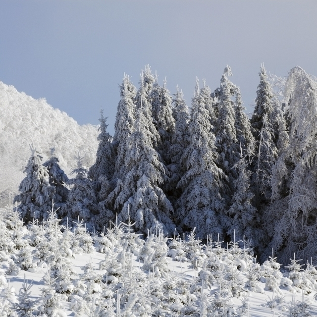 Trees Covered In Snow Poster Print (38 x 24)