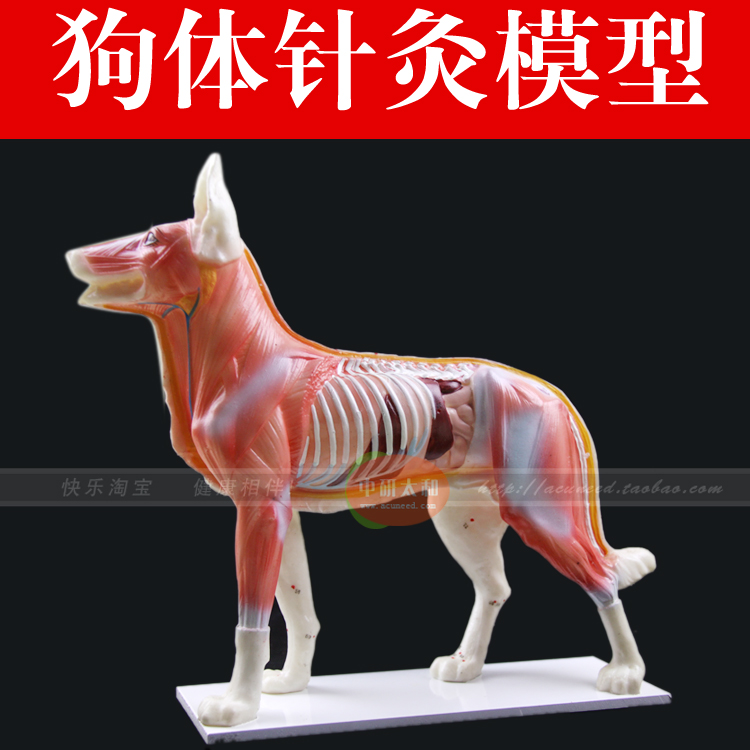 dog Anatomy Models dog anatomy model teaching practice training