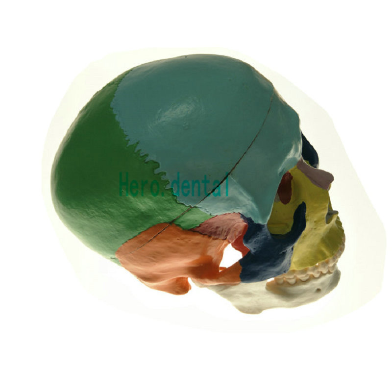Dental Colored Anatomical Human Skull Model 3 parts Ceramic White Teaching Model human larynx model advanced anatomical larynx model