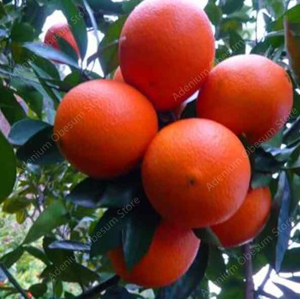 Hot Sale! 50 Buah Bonsai Orange Pot Dimakan Oranye Buah Dwarf Orange Outdoor Tanaman untuk Taman Rumah Tanaman Gratis Pengiriman