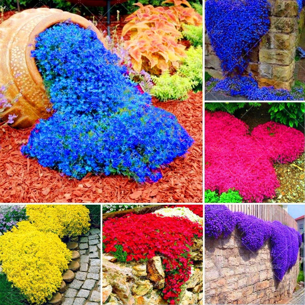 100Pcs Creeping Thyme Bonsai Mixed Color ROCK CRESS Plants Perennial Ground Cover Flower Natural Growth For Home Garden Plants