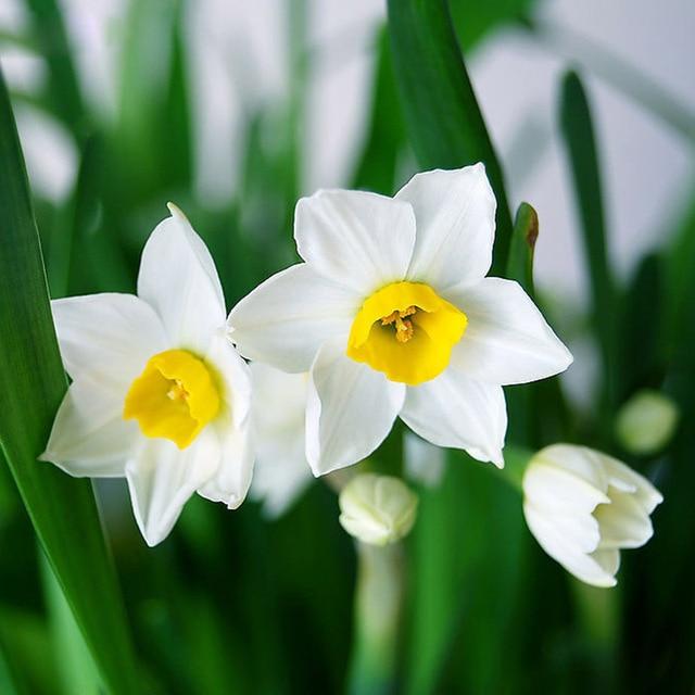 White daffodil flower seeds diy home garden plant bonsia absorption white daffodil flower seeds diy home garden plant bonsia absorption radiation narcissus perennial120pcs mightylinksfo