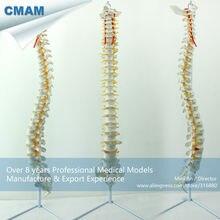 CMAM-SPINE01 Life Size Classic Flexible Spine Model without Pelvis , Spine/Vertebrae Models > Life-Size Spine Models