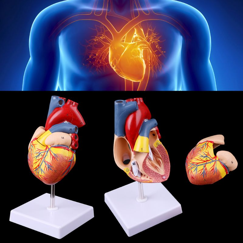 Disassembled Anatomical Human Heart Model Anatomy Medical Teaching Tool easy to used human skin model block enlarged plastic anatomical anatomy specially for medical teaching tool