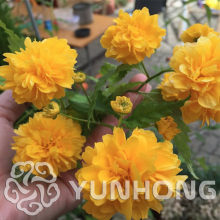 50PCS Rare Kerria Japonica -bonsai FLOWER plant for home garden Kerria Japonica plant buy-direct-from-china orquidea semente(China)