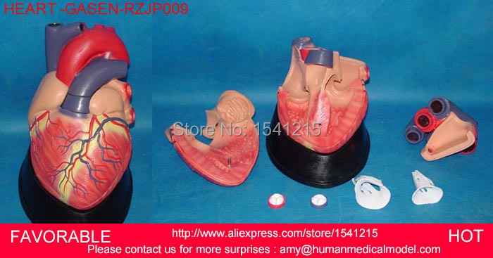 HEART ANATOMY VISCERA MEDICAL MODEL,MODEL OF CARDIAC CARDIAC ANATOMY CARDIOVASCULAR MODEL OF HUMAN HEART MODEL -GASEN-RZJP009 anatomic heart model process model medical model of lipid cholesterol age model coronary heart disease thrombosis gasen xz011