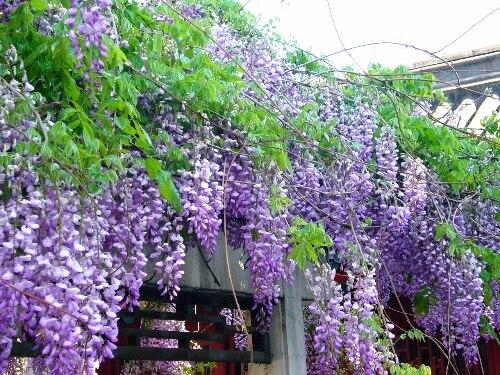 10 pcs/bag Purple Wisteria Flower Seeds rare tree seeds for DIY home garden PLANT GARDEN BONSAI FLOWER SEED DIY HOME