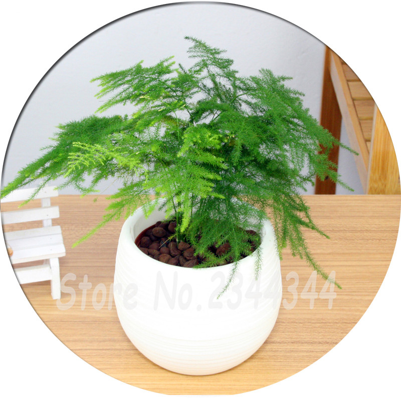small plant for office desk. office desks potted asparagus setaceus seeds bonsai tree seeds30pcs small bamboo luck plant for desk