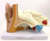 Human Ear Anatomy Medical Model Teaching Aid with Removable Sections Structure Model 5 Parts