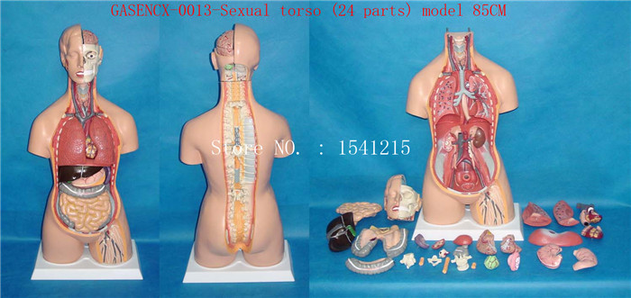 85CM Bisexual Torso 24 Parts Human anatomy model Teaching medical mold-GASENCX-0013 42cm male 13 torso model torso anatomical model of medical biological teaching aids equipment