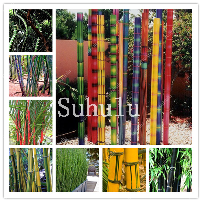 50PCS RARE BLUE BAMBOO SEEDS BEAUTIFUL HOME GARDEN DECOR TREE HERB PLANT