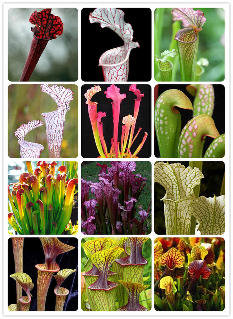 200 ชิ้น Dionaea Muscipula Giant คลิป Venus Flytrap Bonsai Potted Insectivorous Plant Bonsai Flycatcher Bonsai สวน