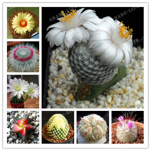 200PCS 8 Kinds Of Mixed Juicy Cactus Bonsai Plants Bonsai Plant Homes Gardening Flower Pots Balcony Flower Bonsai