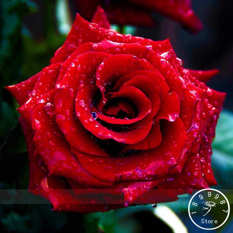 Promotion!Strong Fragrant Red Rose Flower bonsai, 50 Pcs/Pack, Big Blooming Garden Rose,#FZYPAA