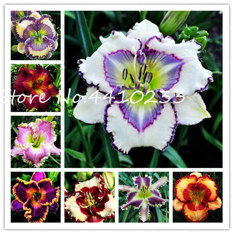 Hot ! 100 Pcs Exotic Holland Rainbow Daylily Bonsai Outdoor Day Lily Flower Garden Plant Organic Vegetable Decor Plant Can Eat