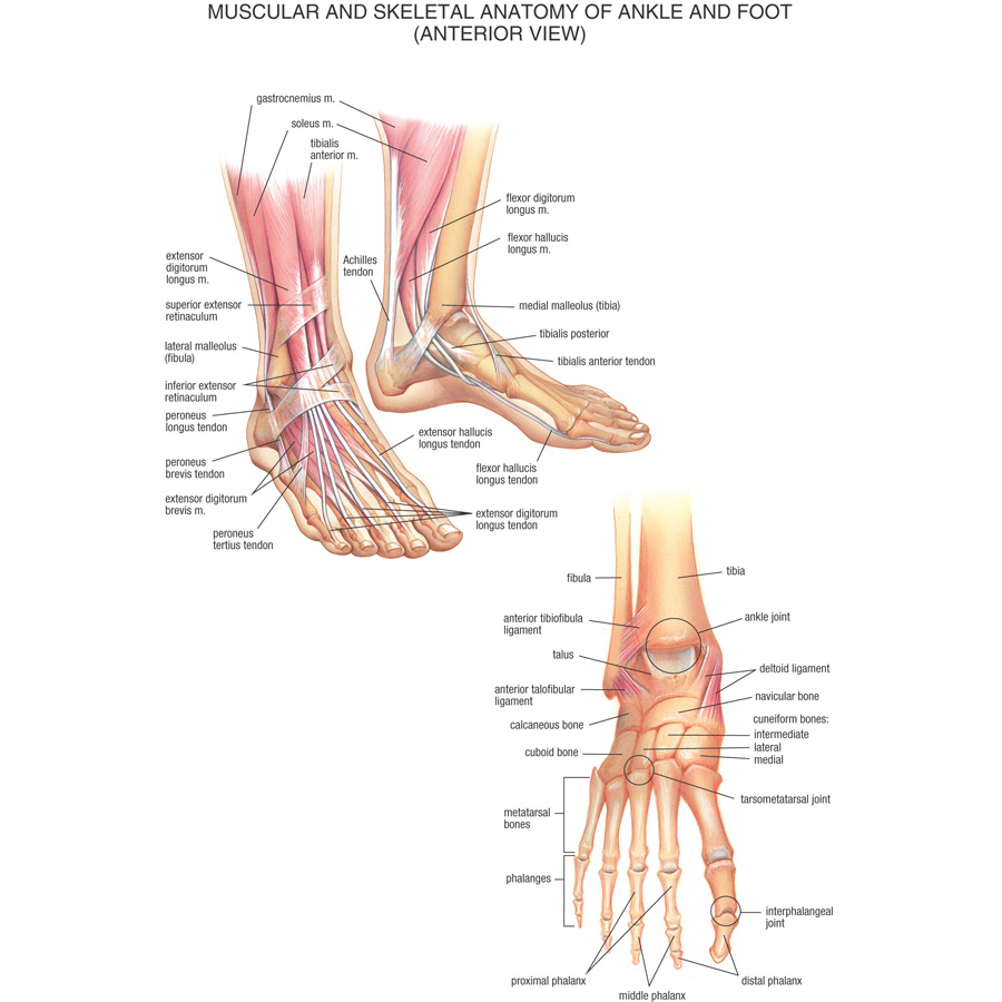 J0869 Human Body Structure Anatomy Chart Pop 14x21 24x36 Inches Silk ...