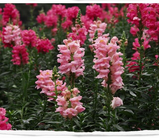 aliexpress: comprar snapdragon semillas de flores en maceta