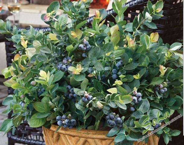 60pcs Blueberry Fruit Bonsai Tree Seeds High Fiber Vegetables And Fruits Mini Bonsai Tree Sementes Frutas For Home Garden Fruit Red Seeds Fruit Pastryseeds Etc Aliexpress