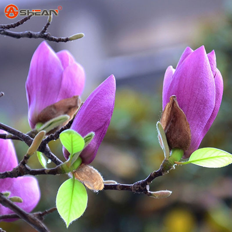 online buy wholesale purple magnolia from china purple. Black Bedroom Furniture Sets. Home Design Ideas