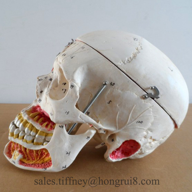 Deluxe Adult skull with blood vessel and nerves, skull model deluxe