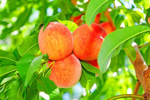 Peach Seeds, Peach Tree Seeds, 5pcs/pack