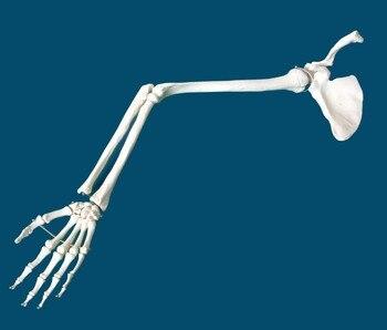 Medical standard upper limb bone shoulder joint clavicle elbow joint ulna radial bone hand bone human skeleton model specimen
