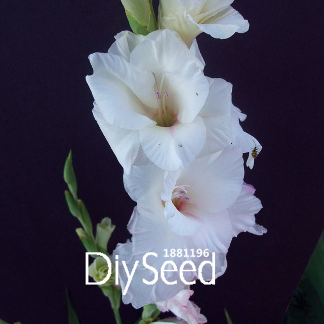 Big salebeautiful white gladiolus seeds green plants flower seeds big salebeautiful white gladiolus seeds green plants flower seeds potted flowers orchids seeds for mightylinksfo
