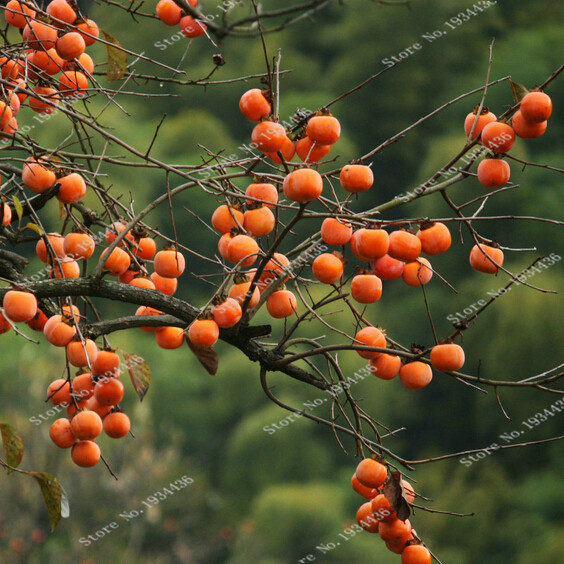 Sale New Seed Succulent Plants Persimmon Seeds Fruit Trees, high quality persimmon fruit tree seeds - 20 particles
