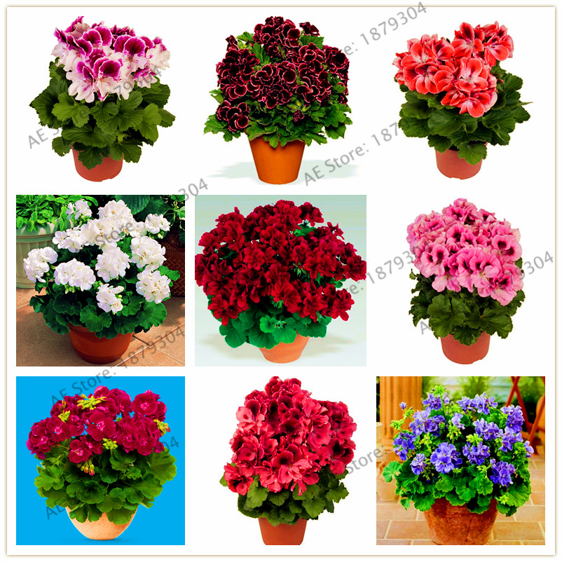 Hot Selling! 105pcs/ Bag Bonsai Potted Geranium Planting Season Flores Germination Rate 100%,for Home And Gardening Plant