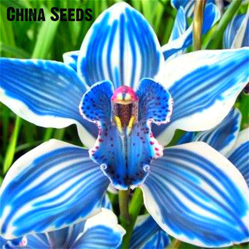 For Sale 100 PCS Rare Orchids Bonsai Blue Butterfly Orchid ...